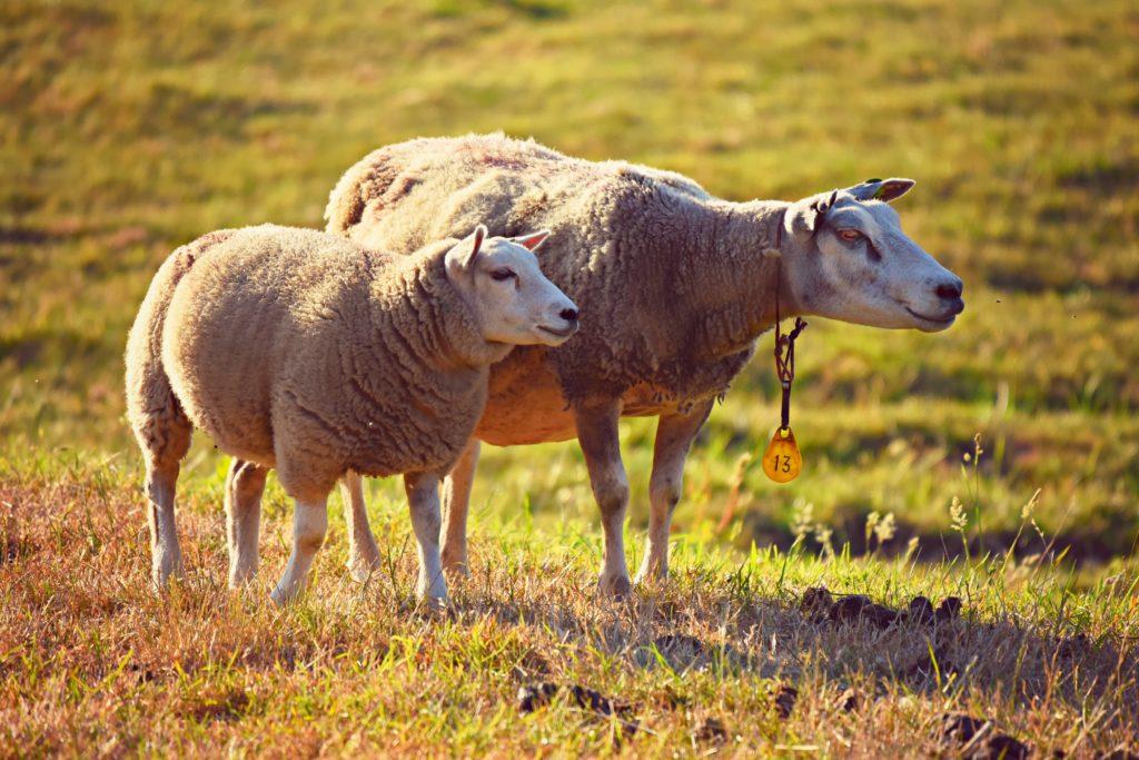 sheep-3562868